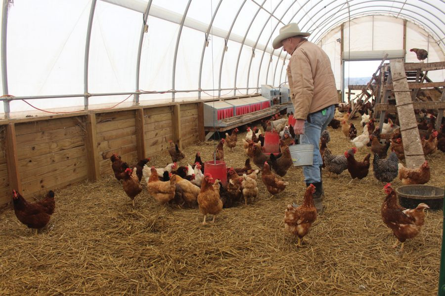 Steve Carr walks by a flock of chickens crowded around one of multiple feeders inside the 3D Valley Farm chicken coop.